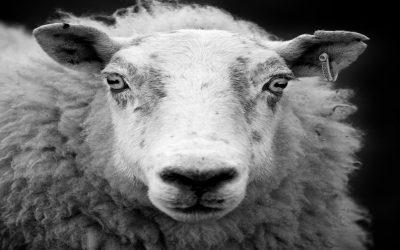 His Sheep Still Hear His Voice.